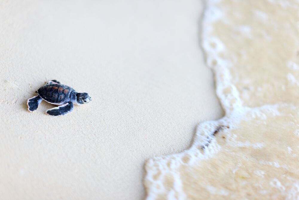 Learn About Baby Turtle Release in Mexico