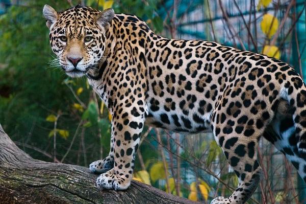Endangered Species Mexican Wildlife Conservation Efforts